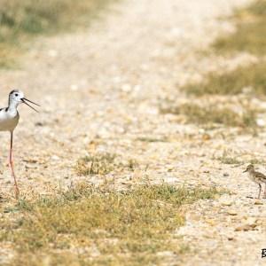 Ehasse blanche et son juvénile-Camargue-France