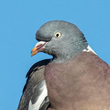 La parade planante des Pigeons ramiers