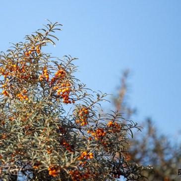 Les buissons d'Argousiers couverts de baies orangées