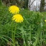 recttes et bienfaits du pissenlits-formation plantes sauvages