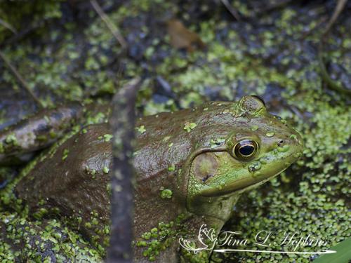 amphibian-12