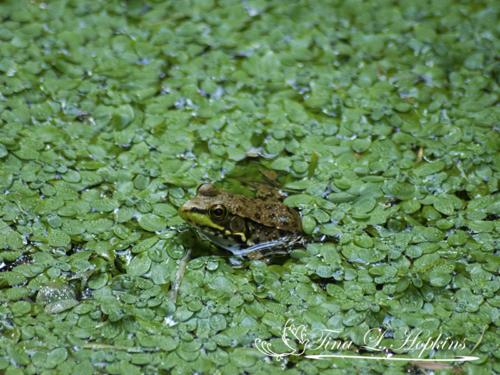 amphibian-17