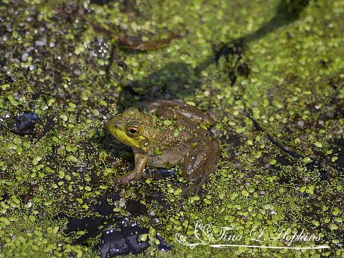 amphibian-19