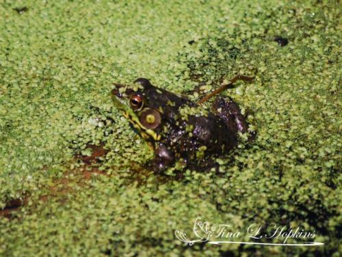 amphibian-6