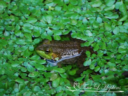 amphibian-9