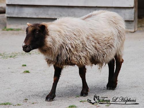 Max - Norweigan Sheep