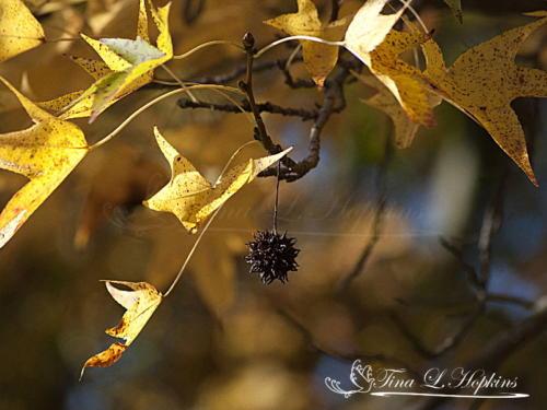 Sweet Gum Leaves