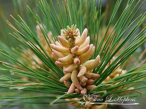 pinecone-10