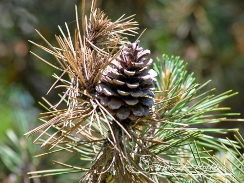 pinecone-12