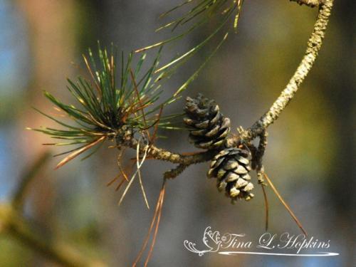 pinecone-16