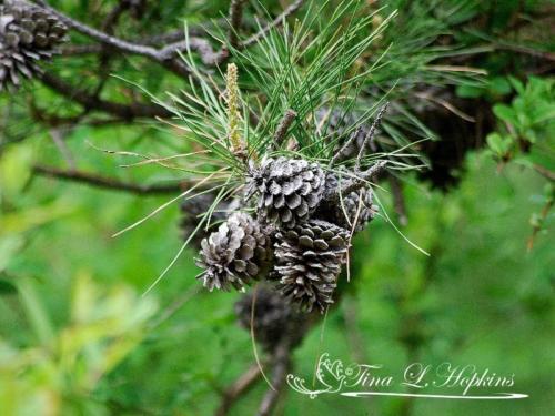pinecone-19