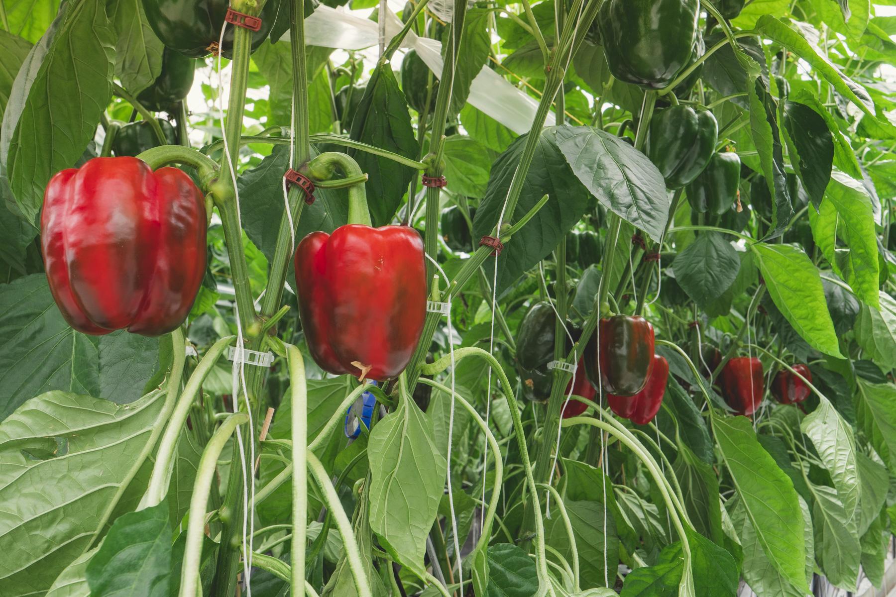 Bell Pepper Faqs Facts Naturefresh Farms