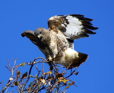 Buzzard (c) Lisa Lawley