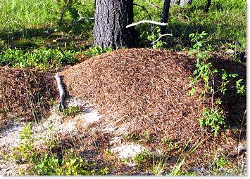Pavement Ant Identification
