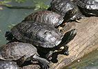 Turtles (Chelonia)
