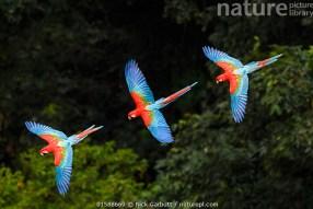 Risultati immagini per ara flying nature