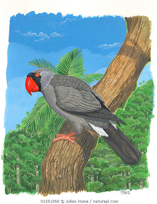 Nature Picture Library - Illustration of extinct Mascarene parrot ...
