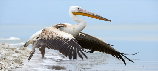 Purely Pelicans - Greece - 2020 - Natures Images