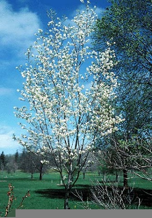 Natures Design Plant Material Ornamental Trees