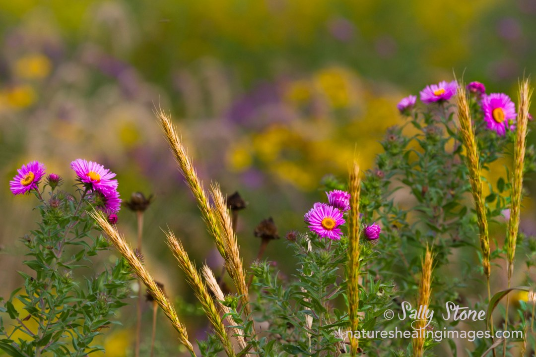 Asters and Grasses