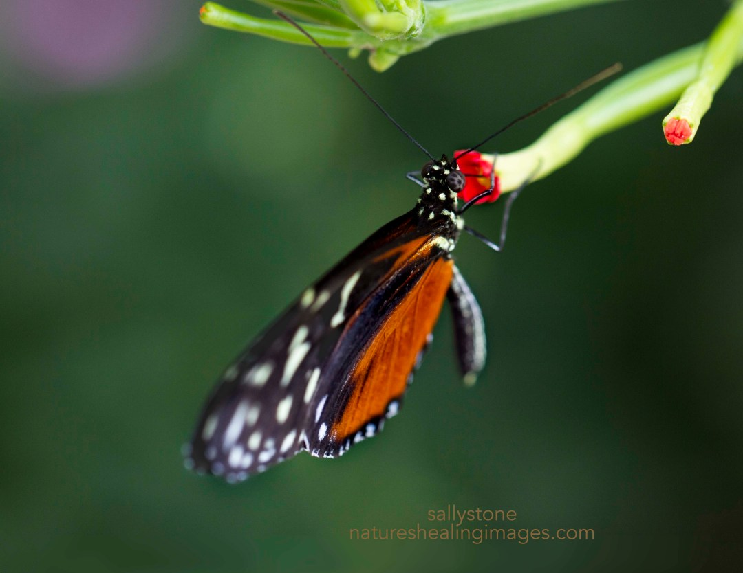 Hecale Longwing