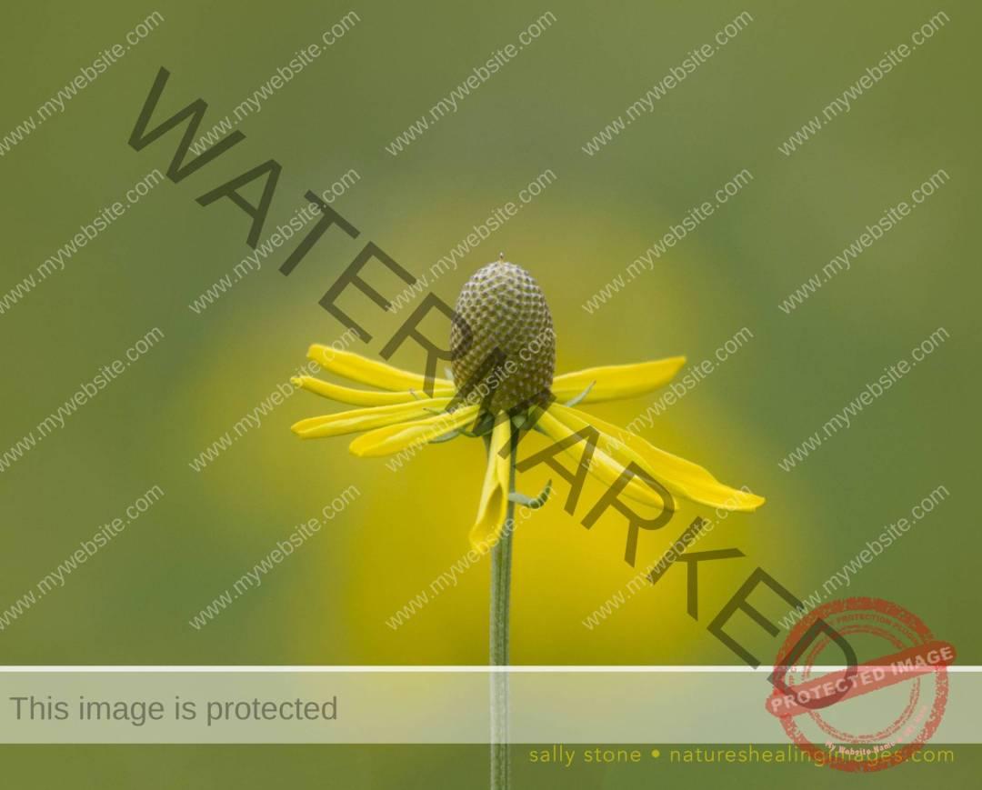 Yellow-Coneflower