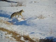 Coyote Walking