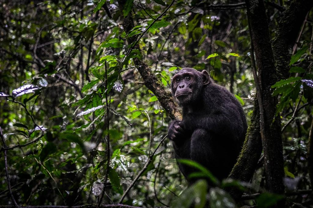 chimpanzee trekking and habituation experience in Uganda