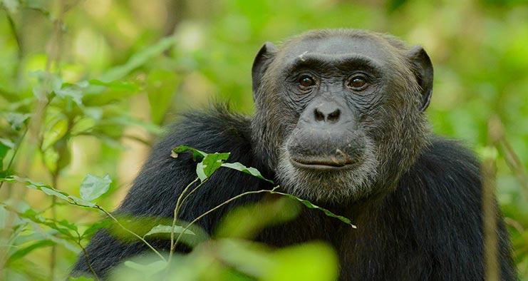 Chimpanzee Trekking in Uganda Tour in 10 Days ~ Naturetrack