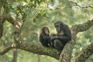 queen-elizabeth-chimpanzee