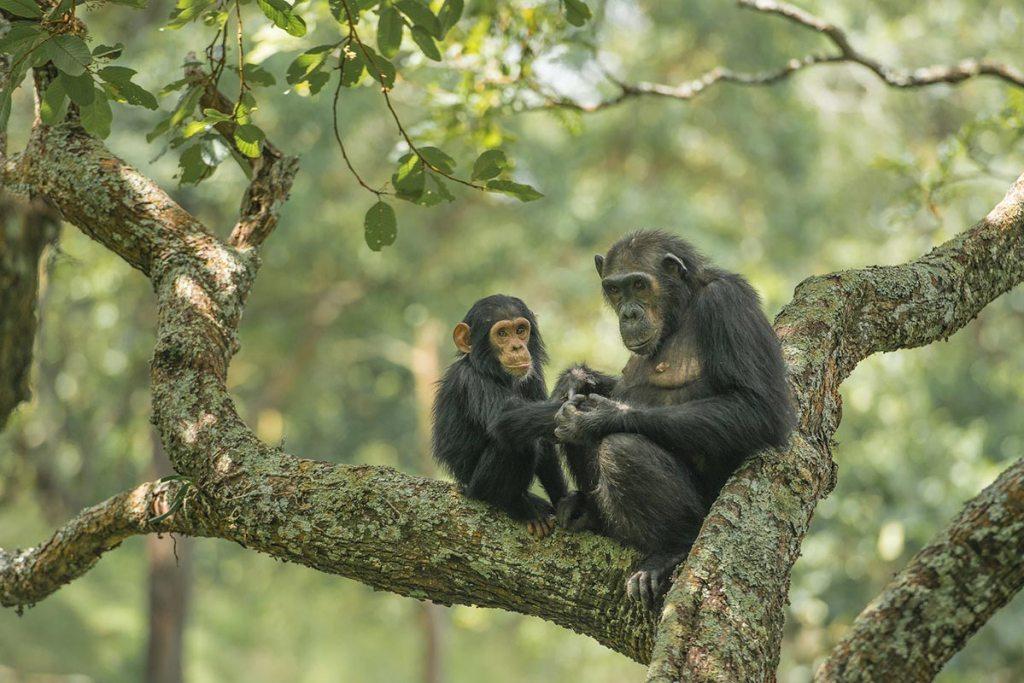 Kibale Chimps