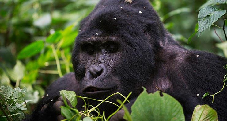 Uganda Primates Jungle Safari in 8 Days ~ Naturetrack