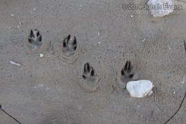 Jackrabbit Tracks