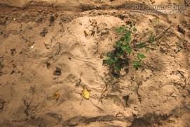 Crawfish Tracks
