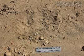 Kangaroo Rat Dust Baths