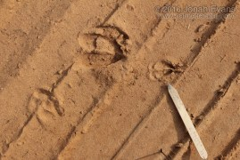 Deer and Fawn Tracks