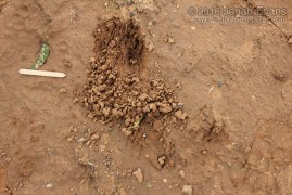 Raccoon Digs