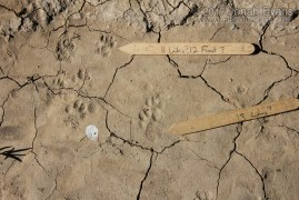 Spotted Skunk and Ringtail Tracks