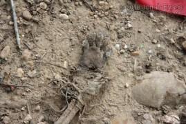 Raccoon Foot