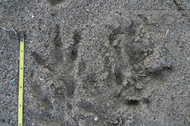 Hawk (Harrier) Tracks