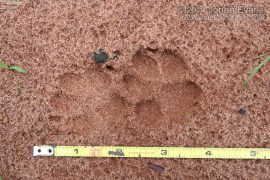 Crab-eating Fox Tracks