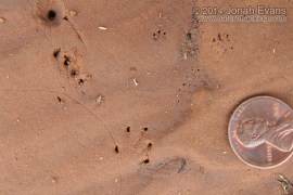 Horned Lizard and Merriams Pocket Mouse Tracks
