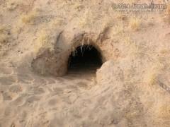 Desert Tortoise Burrow
