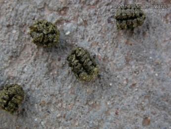 Caterpillar Scat (Frass)