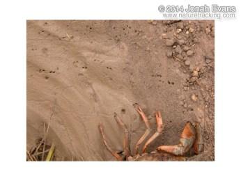Crayfish Tracks