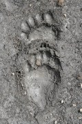 Black Bear Right Front (Above) and Right Hind Tracks