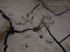 Opossum Tracks
