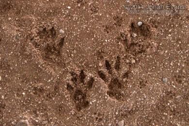 Eastern Gray Squirrel Tracks