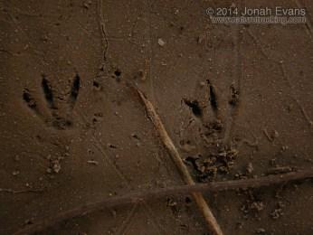 Hispid Cotton Rat Tracks