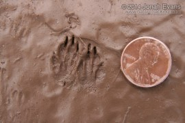 Merriam's Kangaroo Rat Tracks